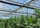 Curso de especialista en cultivo de cáñamo en invernaderos con tecnología
